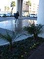 Starr-071227-0913-Phoenix roebelenii-habit-Holiday Inn Express Las Vegas-Nevada (31145822820).jpg