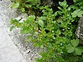 Starr-080531-4779-Pilea microphylla-flowers and leaves-Charlie barracks Sand Island-Midway Atoll (24283852633).jpg