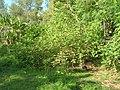 Starr-080601-8963-Solanum torvum-habit with Laysan albatross-Community garden Sand Island-Midway Atoll (24885483196).jpg