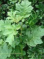 Starr-080610-8306-Solanum torvum-seedling-Community Garden Sand Island-Midway Atoll (24799182612).jpg