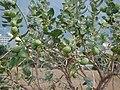 Starr-090608-9011-Calotropis procera-flowers and fruit-Waikapu-Maui (24667188240).jpg