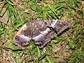 Starr-110309-3019-Paspalum conjugatum-habitat and black witch moth Ascalapha odorata-Olinda-Maui (24783554790).jpg