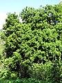 Starr-110331-4415-Macadamia integrifolia-habit-Shibuya Farm Kula-Maui (24712802559).jpg