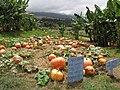 Starr-111004-0570-Cucurbita pepo-habit and pumpkin patch-Kula Country Farms-Maui (25118364195).jpg