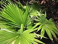 Starr-120522-6622-Kerriodoxa elegans-habit-Iao Tropical Gardens of Maui-Maui (25143644665).jpg