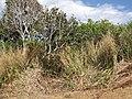 Starr-130319-2964-Syzygium cumini-habit-Crater Hill Kilauea Pt NWR-Kauai (24840776409).jpg