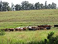 Starr-141229-0027-Andropogon virginicus-habit and cows in pasture-Hoku Nui Piiholo-Maui (24619447554).jpg