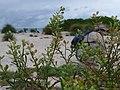Starr-170629-0348-Lepidium virginicum-seeds-Turtle Beach Sand Island-Midway Atoll (36457346825).jpg
