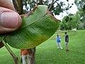 Starr-180406-0736-Bursera simaruba-leaves-DOFAW Arboretum Hilo-Hawaii (41326471272).jpg