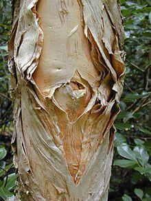 Cajeput tree - Wikipedia