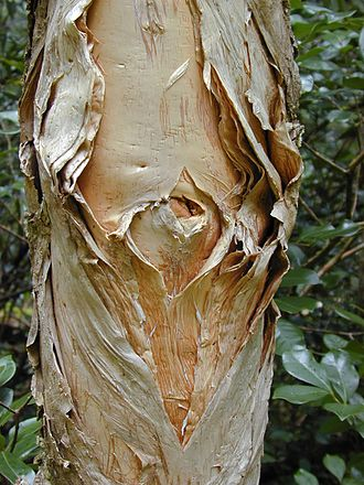 "Melaleuca - M. quinquenervia bark showing the papery exfoliation from which the common name ""paperbark"" derives"