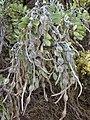 Starr 020911-0013 Sophora chrysophylla.jpg