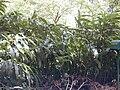 Starr 030405-0034 Hedychium sp..jpg