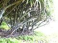 Starr 040423-0266 Pandanus tectorius.jpg
