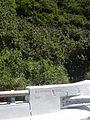 Starr 040518-0081 Hibiscus tiliaceus.jpg