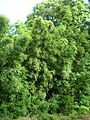 Starr 050107-2820 Phyllostachys nigra.jpg