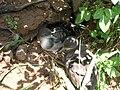 Starr 050419-0436 Bidens alba var. radiata.jpg