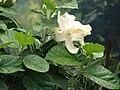 Starr 070123-3584 Hibiscus rosa-sinensis.jpg