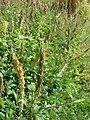 Starr 070206-4175 Crotalaria pallida.jpg