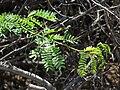 Starr 070404-6599 Prosopis juliflora.jpg
