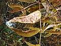 Starr 080326-3773 Syzygium jambos.jpg