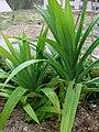 Starr 080607-7257 Pandanus amaryllis.jpg