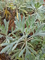 Starr 081230-0616 Artemisia australis.jpg