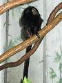 Stavenn Leontopithecus chrysopygus 00.jpg