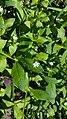 Stellaria in Yerevan 01.jpg