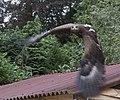 Steppe Eagle 4 (3862267335).jpg