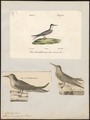 Sterna minuta - 1700-1880 - Print - Iconographia Zoologica - Special Collections University of Amsterdam - UBA01 IZ17900360.tif