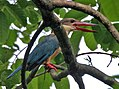 Stork-billed Kingfisher (Halcyon capensis) calling at Kolkata I IMG 7503.jpg