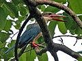 Stork-billed Kingfisher (Halcyon capensis) calling at Kolkata I IMG 7503.jpg