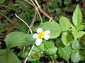 Straberry flower nilgiris ooty, india.jpg