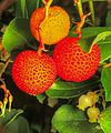Strawberry tree (Arbutus unedo) (22554902712).jpg