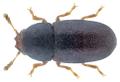 Strigocis bicornis (Mellié, 1848).png