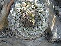 Strombocactus disciformis (5780141399).jpg