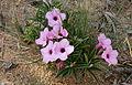 Summer Impala Lily (Adenium swazicum) (16799451064).jpg