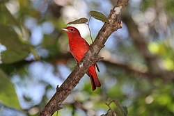 Summer Tanager (Piranga rubra) (7264647518).jpg