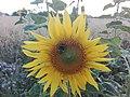 Sunflower Dortmund 3.jpg