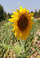Sunflower head 2015 G3.jpg