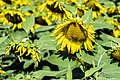 Sunflowers cultivated in Southern France 04.jpg