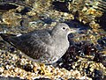Surfbird along Puget Sound at Elliott Bay, West Seattle.jpg