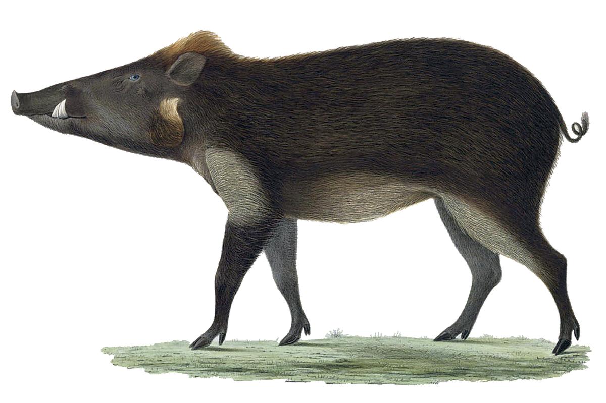101+ Gambar Babi Hutan Jawa Paling Hist