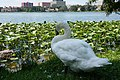 Swan Looking out into Lake Morton.jpg