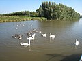 Swans on River Cam - geograph.org.uk - 682605.jpg