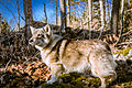 Swedish Vallhund December 2012 005.JPG