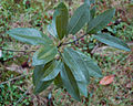 Sweetbay Magnolia Magnolia virginiana Leaf Cluster 2500px.jpg