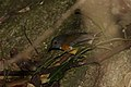Swinnerton's Robin, Swynnertonia swynnertoni, Seldomseen, Vumba, Zimbabwe (21219410504).jpg