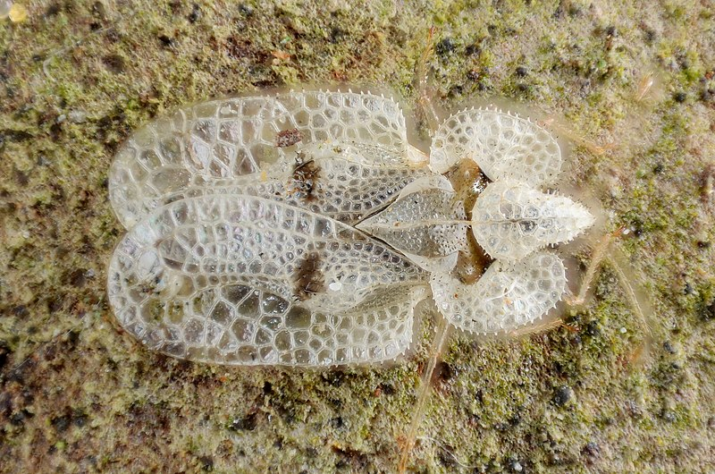 File:Sycamore Lace Bug (5437596708).jpg